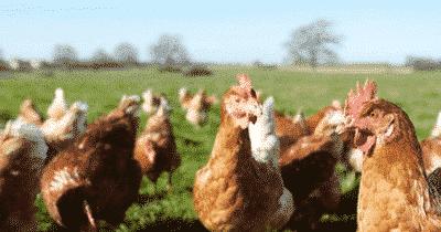 Laissez les poules faire le tri sélectif à votre place