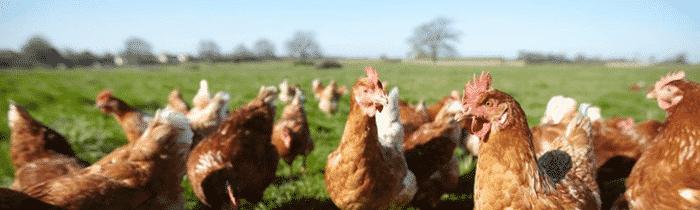 Les poules font le tri sélectif