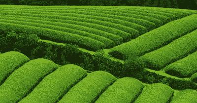 Recycler les sachets de thé en entreprise